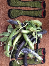 Norman's broad beans for seeds